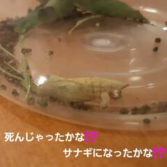青虫さん 12日に招かざる客だった幼虫たち、 蘭く…(2枚目)