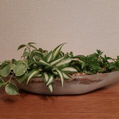 観葉植物/夏に向けて/玄関あるある/簡単/暮らし/スタミナ丼/... 鉢底石の軽石で、ハイドロカルチャーにして…