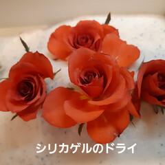 ゴーヤ/ドライフラワー シリカゲルを使った、薔薇のドライは、 開…