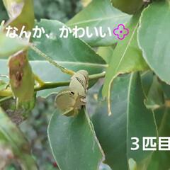 招かざる客 檸檬の新芽ばかり食べてるアゲハの幼虫❗ …(3枚目)