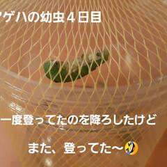 青虫さん 12日に招かざる客だった幼虫たち、 蘭く…(1枚目)
