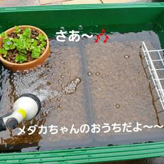 可動式メダカの水槽 大工仕事は大雑把だけど、何とか形になりま…(7枚目)