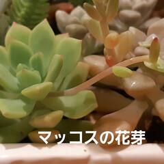 多肉ちゃん ローラちゃんの花芽は、もうカット✂️して…(4枚目)