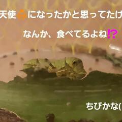 青虫さん 12日に招かざる客だった幼虫たち、 蘭く…(3枚目)