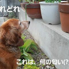 多肉植物/蘭くんのお庭散策🐶 3年くらいになるでしょうか(?_?) 蘭…(3枚目)