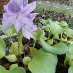 LIMIAファンクラブ/LIMIAペット同好会/わんこ同好会 ホテイアオイの花が咲いて、ちょっと涼しげ…
