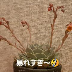 多肉ちゃん ローラちゃんの花芽は、もうカット✂️して…(2枚目)