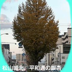 銀杏並木の冬支度 この銀杏の木は、平和通りで、 ダントツ大…