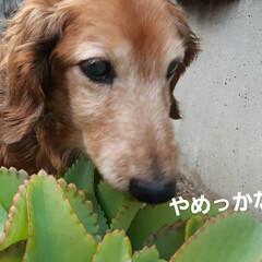 多肉植物/蘭くんのお庭散策🐶 3年くらいになるでしょうか(?_?) 蘭…(7枚目)