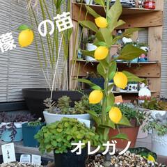 蘭くんの小さなお庭/多肉植物  トゲ無し檸檬の苗、買いました~🥰 まだ…(1枚目)