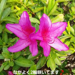 季節の花 5月になると緑の街路樹やお花がとても眩し…(1枚目)
