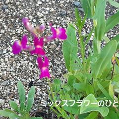 花、咲きました🎵 土手カボチャと言うくらいだから、どこでも…(3枚目)