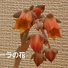 多肉ちゃん ローラちゃんの花芽は、もうカット✂️して…(1枚目)