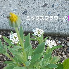花、咲きました🎵 土手カボチャと言うくらいだから、どこでも…(5枚目)
