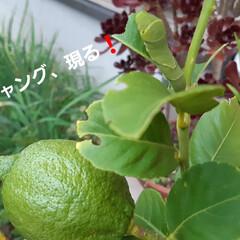 招かざる客 檸檬の新芽ばかり食べてるアゲハの幼虫❗ …(1枚目)