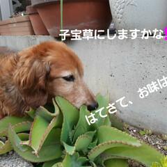 多肉植物/蘭くんのお庭散策🐶 3年くらいになるでしょうか(?_?) 蘭…(5枚目)