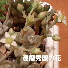 多肉ちゃん ローラちゃんの花芽は、もうカット✂️して…(3枚目)