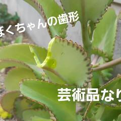 多肉植物/蘭くんのお庭散策🐶 3年くらいになるでしょうか(?_?) 蘭…(9枚目)