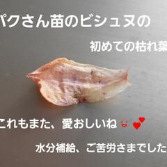 多肉棚便り 桃太郎は初心者さんむきで、 育てやすいん…(9枚目)