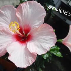 夏の花 ホームセンターのハイビスカス🌺 綺麗です…