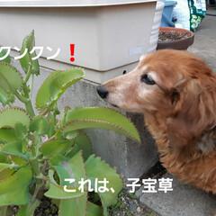 多肉植物/蘭くんのお庭散策🐶 3年くらいになるでしょうか(?_?) 蘭…