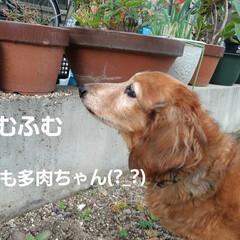 多肉植物/蘭くんのお庭散策🐶 3年くらいになるでしょうか(?_?) 蘭…(4枚目)