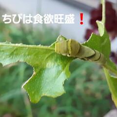招かざる客 檸檬の新芽ばかり食べてるアゲハの幼虫❗ …(2枚目)