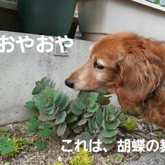 多肉植物/蘭くんのお庭散策🐶 3年くらいになるでしょうか(?_?) 蘭…(2枚目)