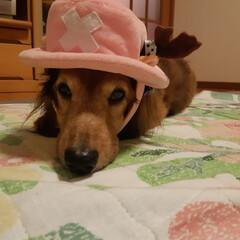 LIMIAファンクラブ/LIMIAペット同好会/わんこ同好会 何年も前の誕生日に貰ったチョッパーの帽子…
