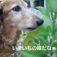 多肉植物/蘭くんのお庭散策🐶 3年くらいになるでしょうか(?_?) 蘭…(10枚目)
