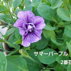 花、咲きました🎵 土手カボチャと言うくらいだから、どこでも…(2枚目)