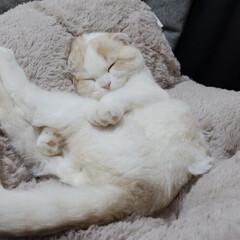 スコテッシュフォールド/ねこ/おやすみショット/ペット仲間募集/猫/にゃんこ同好会