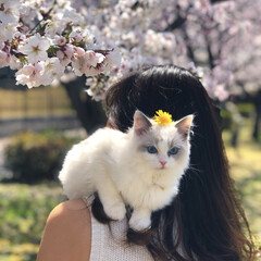 猫/桜/タンポポ/ねこ/スコテッシュフォールド/春のフォト投稿キャンペーン/... 桜とタンポポと私🌸