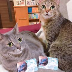 保護猫/キジトラ/グレー猫/令和元年フォト投稿キャンペーン/フォロー大歓迎/LIMIAペット同好会/... みんなのアイドル、ゆず&なつです!