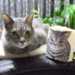 保護猫/グレー猫/令和元年フォト投稿キャンペーン/フォロー大歓迎/LIMIAペット同好会/にゃんこ同好会/... そっくりトイレットペーパー①