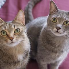 グレー猫/キジトラ/保護猫/令和元年フォト投稿キャンペーン/フォロー大歓迎/LIMIAペット同好会/... 美兄妹。