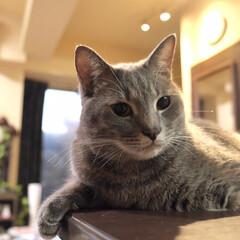 保護猫/グレー猫/令和元年フォト投稿キャンペーン/フォロー大歓迎/LIMIAペット同好会/にゃんこ同好会/... キメポーズ。