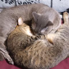 保護猫/キジトラ/グレー猫/令和元年フォト投稿キャンペーン/フォロー大歓迎/LIMIAペット同好会/... ミステリーニャークル。