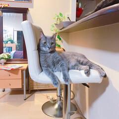 保護猫/グレー猫/令和元年フォト投稿キャンペーン/フォロー大歓迎/LIMIAペット同好会/にゃんこ同好会/... 正しい椅子の座り方!?