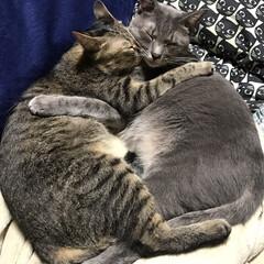 保護猫/仲良し兄妹猫/グレー猫/キジトラ/フォロー大歓迎/LIMIAペット同好会/... 抱き合って寝てる♡