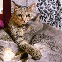 保護猫/キジトラ/グレー猫/令和元年フォト投稿キャンペーン/フォロー大歓迎/LIMIAペット同好会/... なつの事はゆずが守るね。