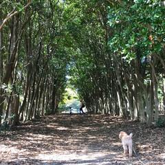 公園/木のトンネル/お出かけワンショット/おでかけワンショット/春のフォト投稿キャンペーン/LIMIAペット同好会/... 木のトンネルでお散歩❤️