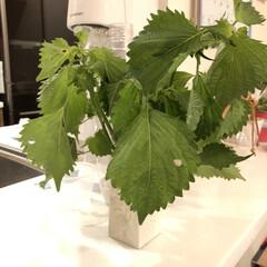 ソーダストリーム スピリット スターターキット ホワイト sodastream Spirit SSM1066 正規取扱店 web限定 KZ TS | ソーダストリーム(炭酸水メーカー)を使ったクチコミ「お友達から、家庭菜園のシソを頂いたので。…」