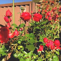 びわ/薔薇🌹/LIMIAファンクラブ 今年は薔薇がたくさん花を咲かせています😌…