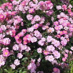 みんなにおすすめ 群馬の中之条ガーデンズのバラが見頃です。…