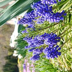 東北の春/暮らし 🍀大好き❤️ムスカリ🍀  やっと綺麗に咲…