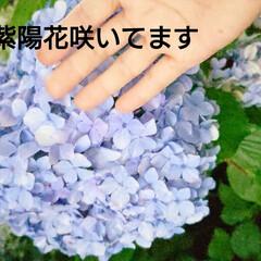 夏/暮らし/紫陽花/花/空 🍀8月の紫陽花🍀  お寺の大木の下! ま…