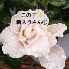 花のある暮らし/秋/暮らし/庭のある暮らし/ガーデニング/花/... 🍀もりもりの熊さんの仲間たち🍀  アイビ…(6枚目)