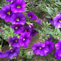 ペチュニア/庭の花たち/花のある暮らし 庭のペチュニア 紫の濃淡が綺麗💜