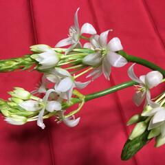春の花たち オオニソガラム可憐です❣️